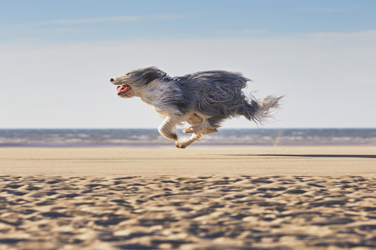 Alex Howe animals running shaggy dog on beach