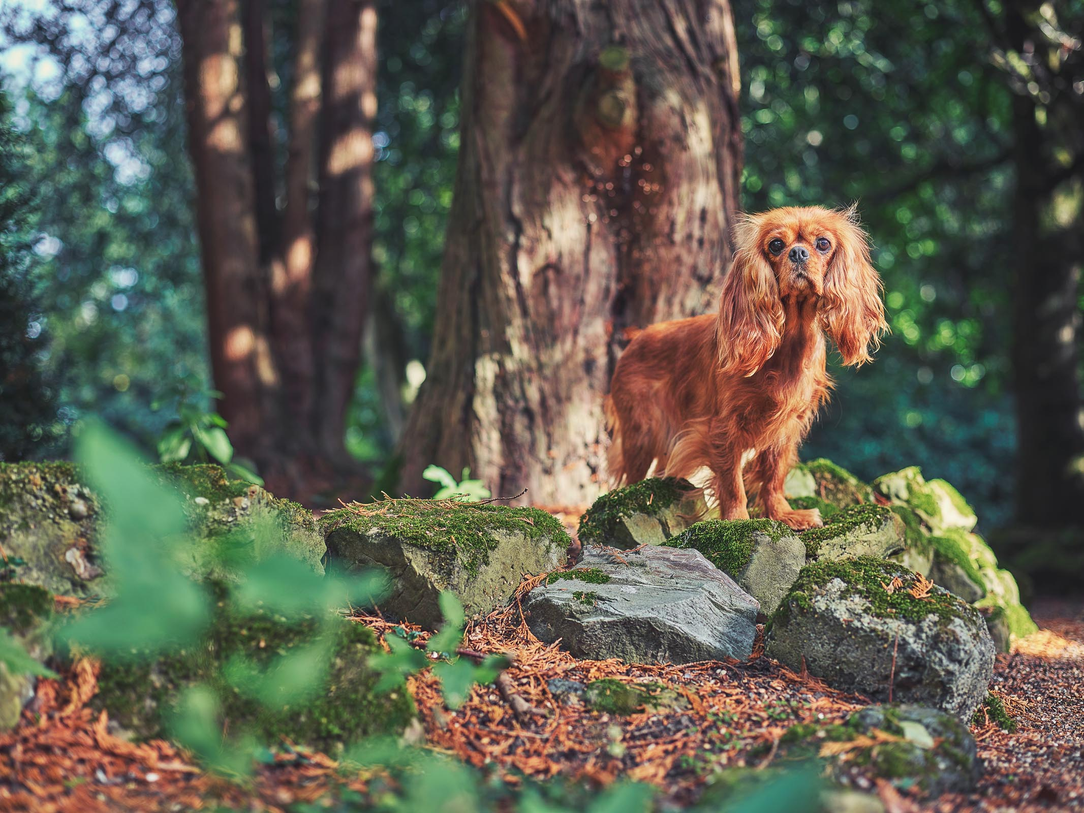 Alex Howe copper ginger colour  spaniel woods walk
