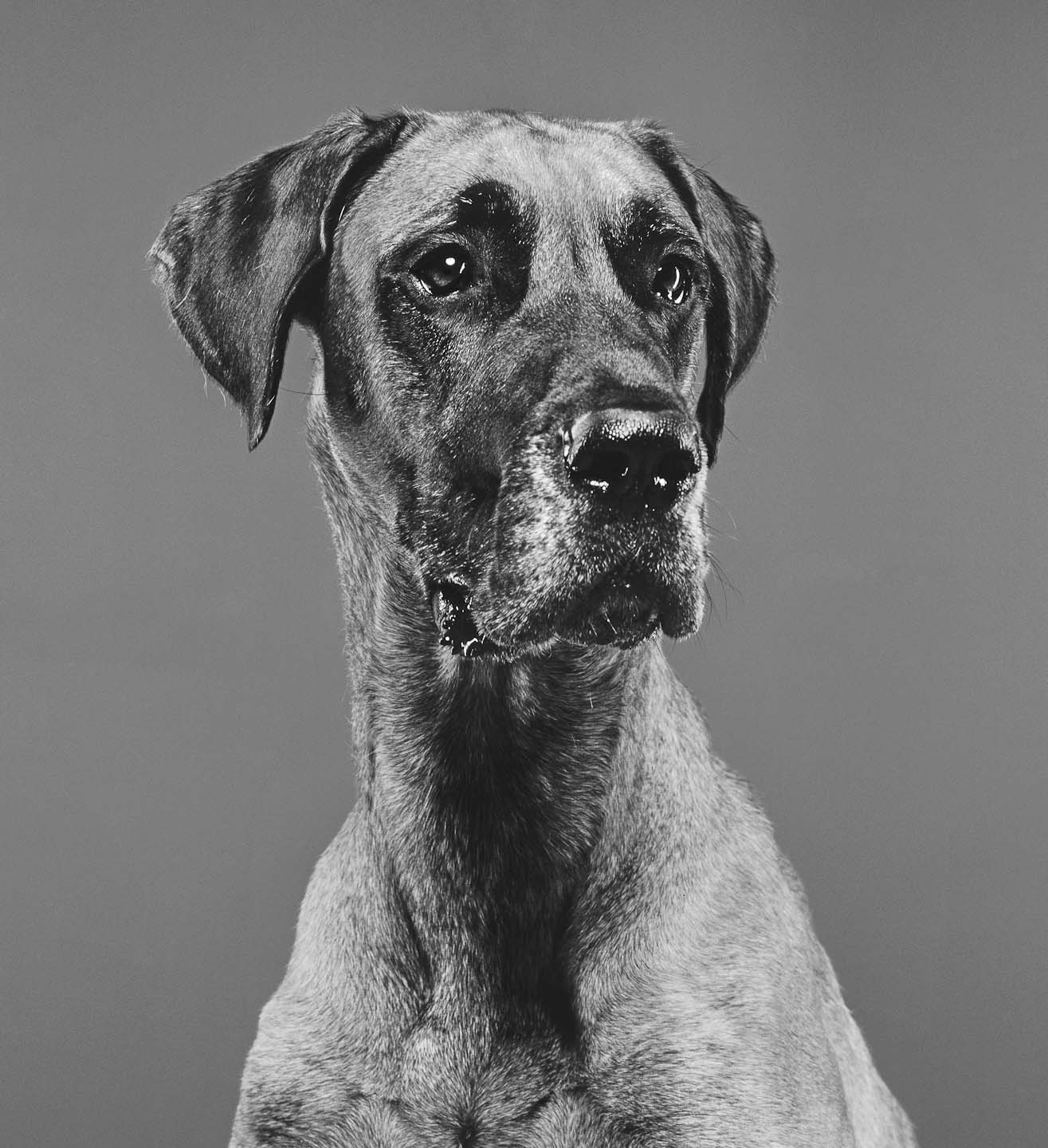 Alex Howe animal contrast dog studio portrait black and white