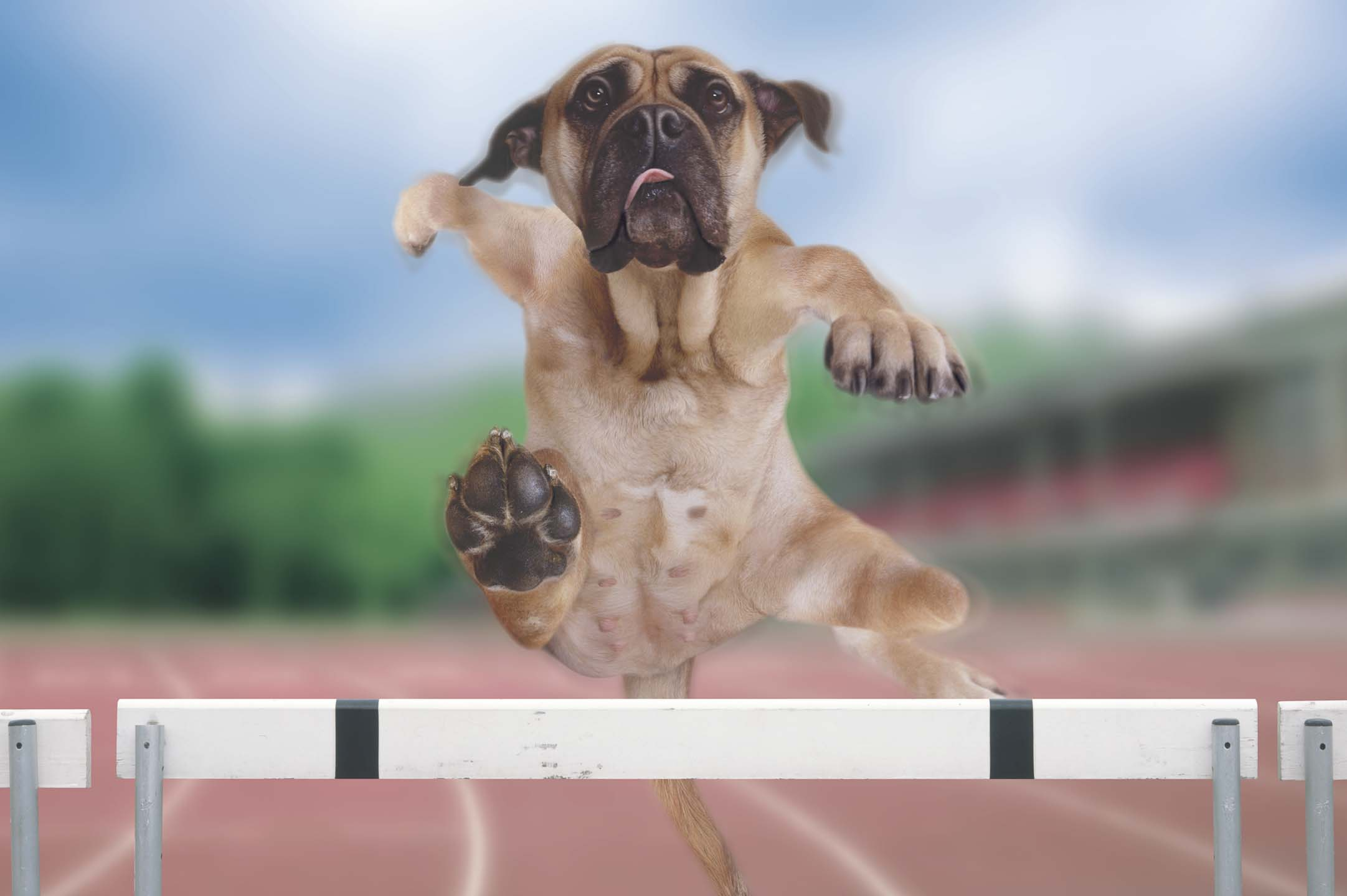 Alex Howe animal running dog  sprint on track field hurdle