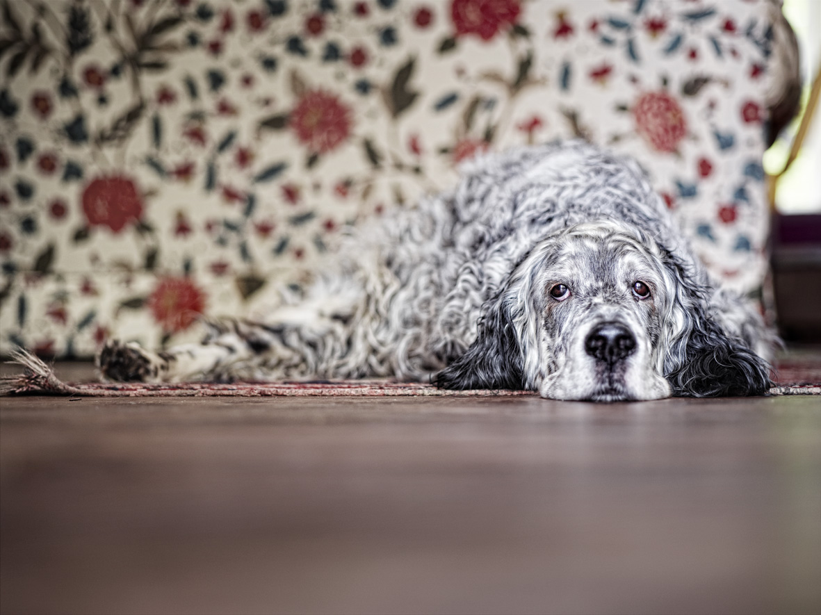 Alex Howe animal sleepy dog lying down on wood floor against pattern background