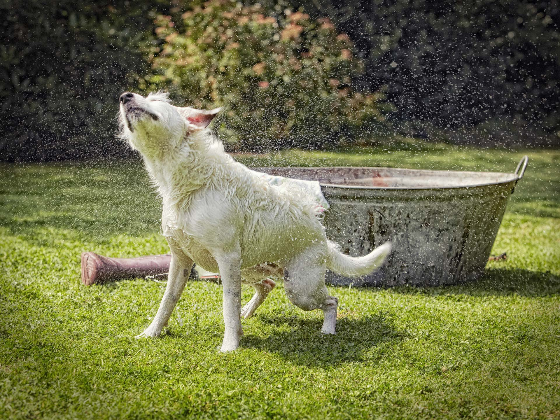 Alex Howe animal dog bath in grass garden tub shake wet
