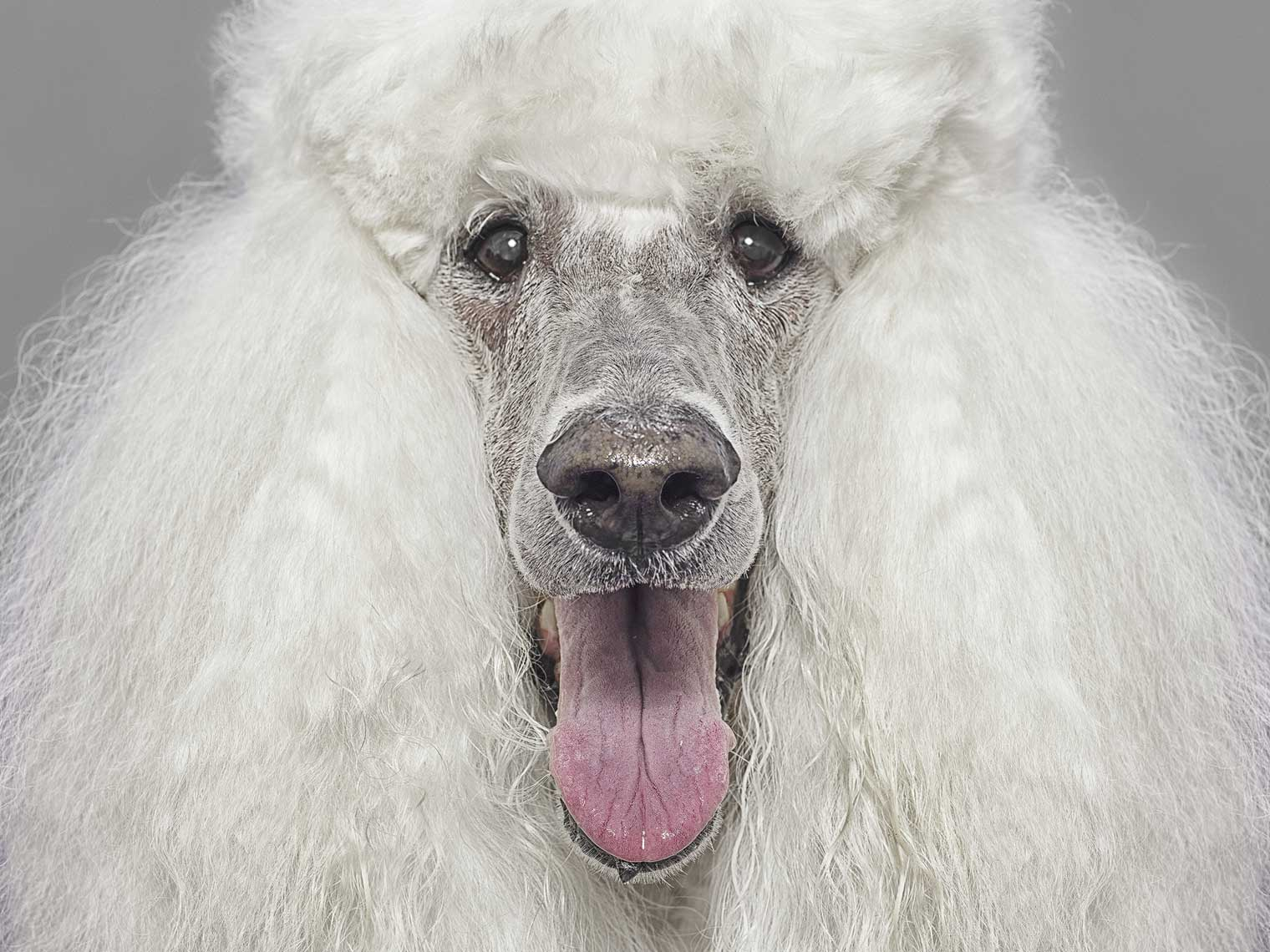 Alex Howe animals happy white poodle frizzy fur panting tongue portrait