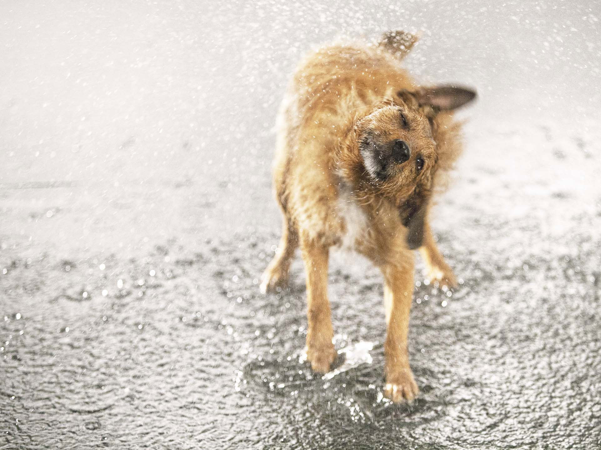 Alex Howe animal wet dog shake in rain puddle